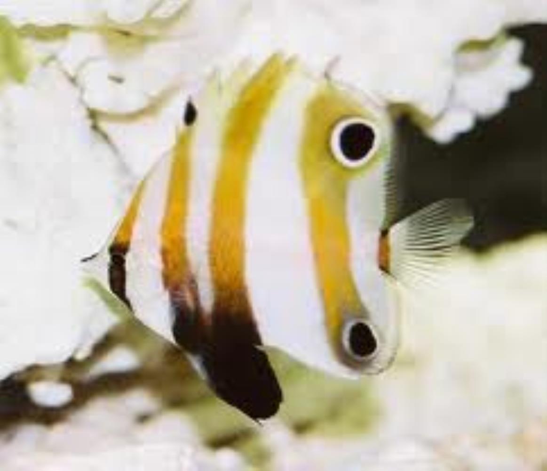 Twospot Coralfish