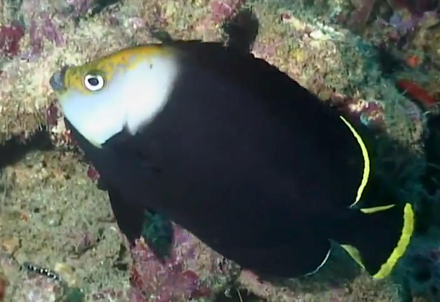 Vanderloos Angelfish