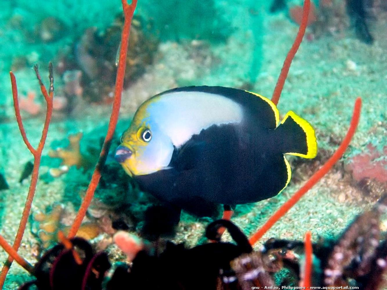 Velvet Angelfish