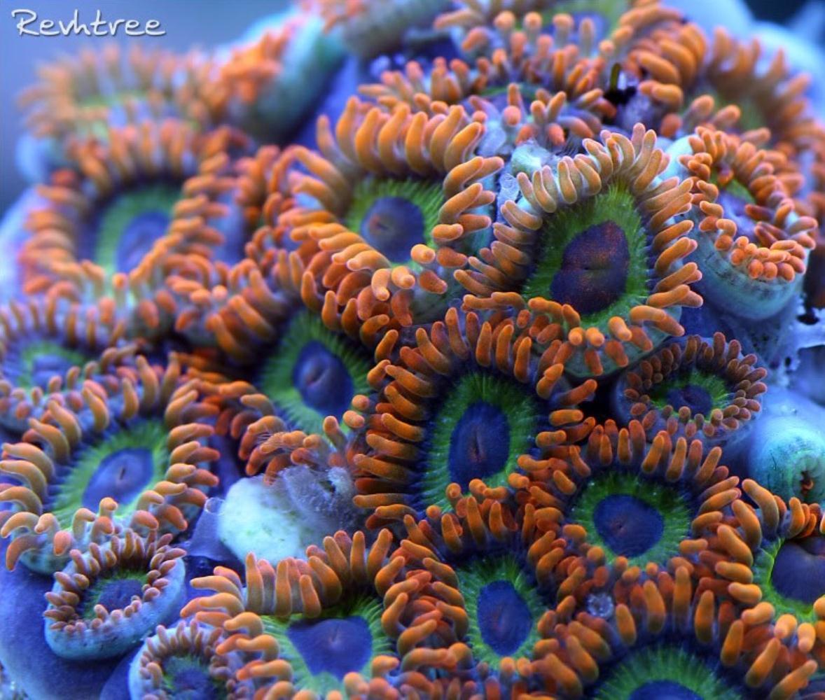 Violet zoanthid