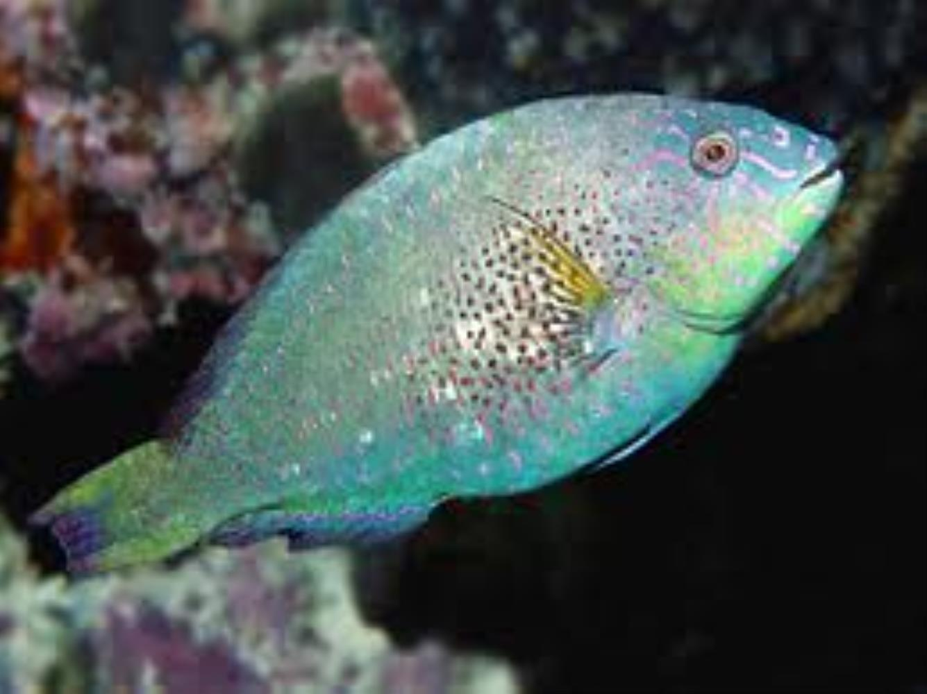 Viridescent Parrotfish