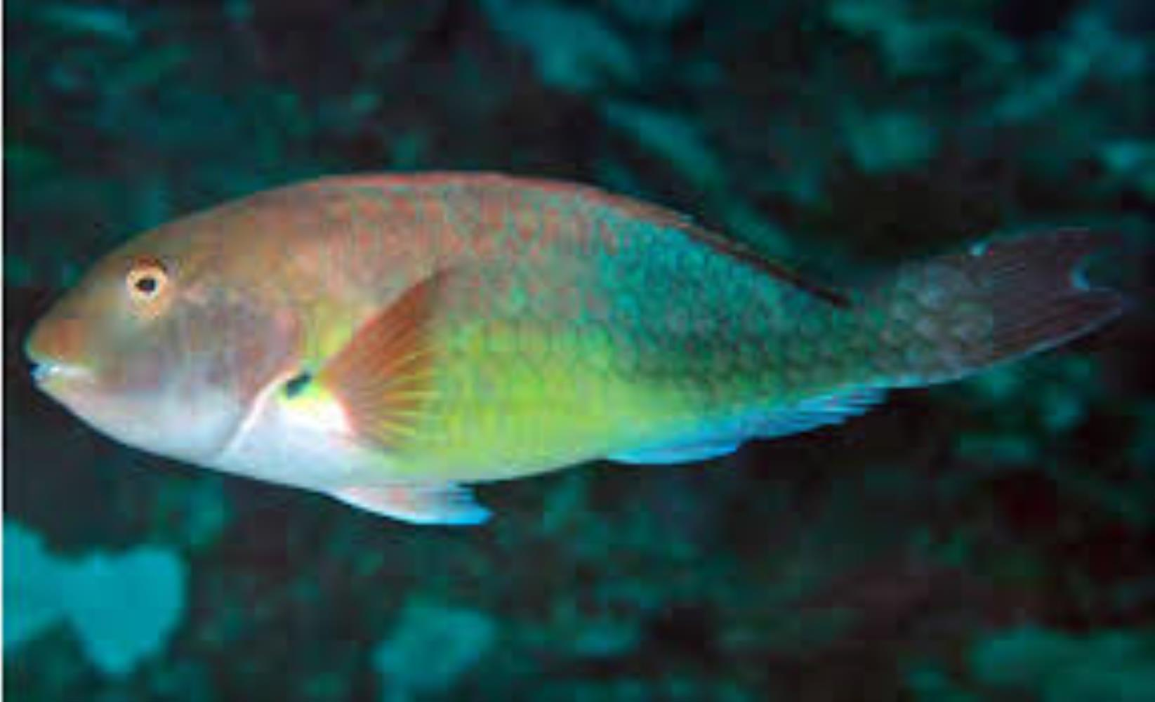 West African Parrotfish