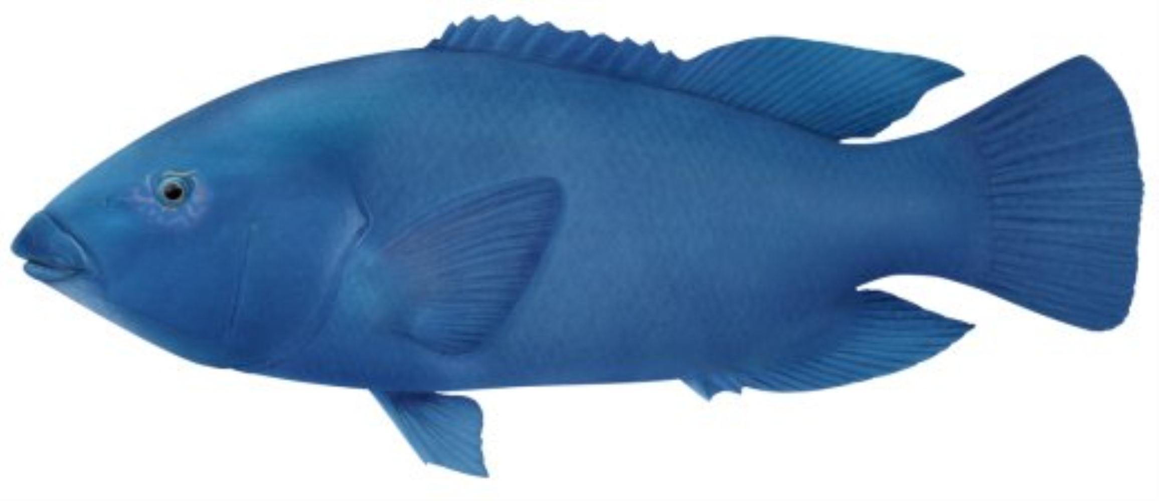 Western Blue Groper