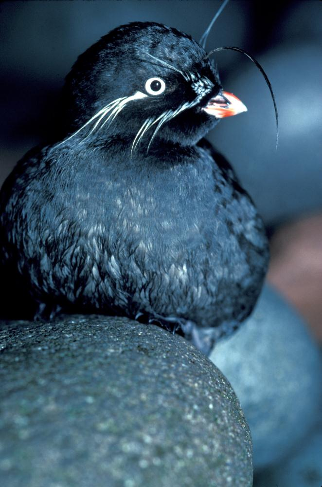 Whiskered Auklet