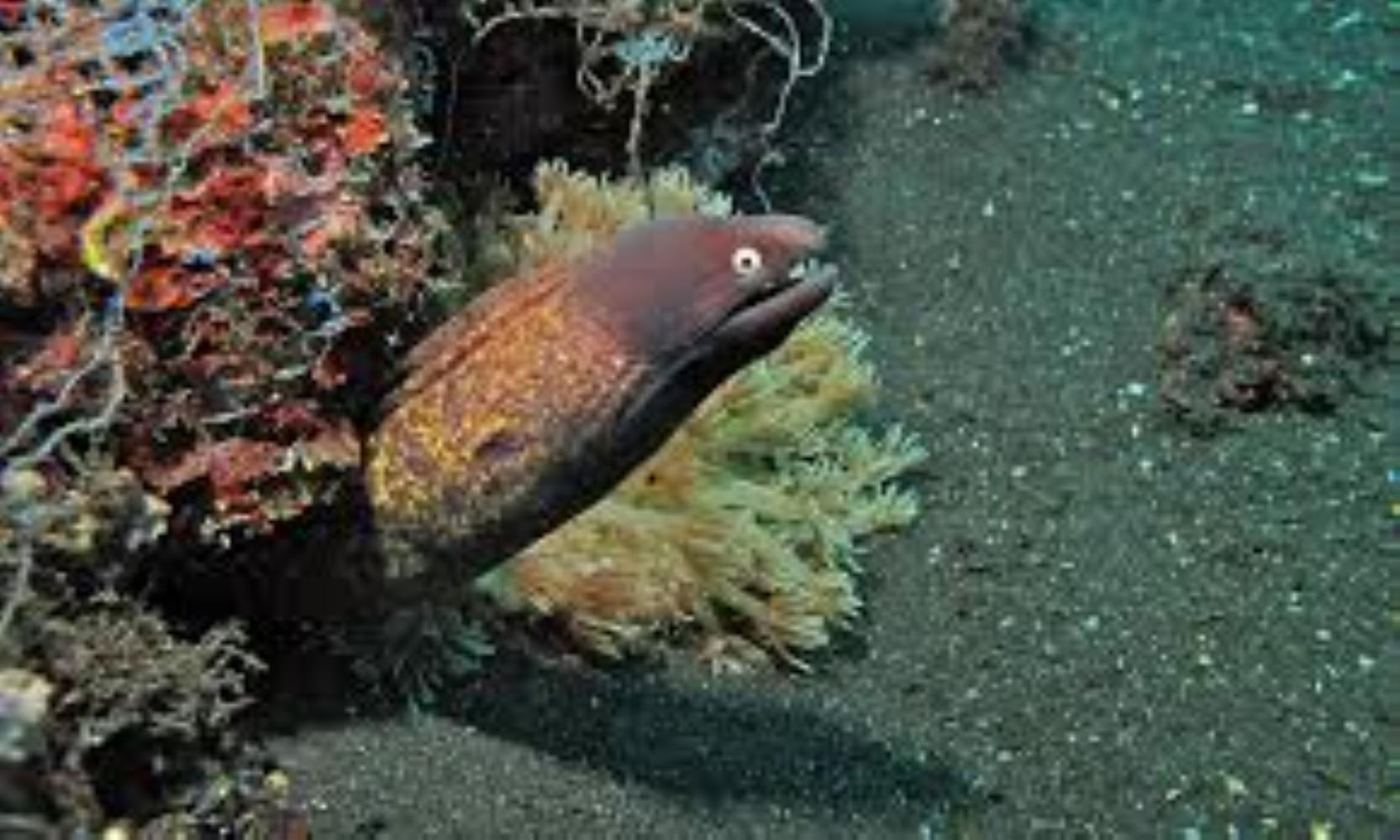 White Eye/ Greyface Moray Eel