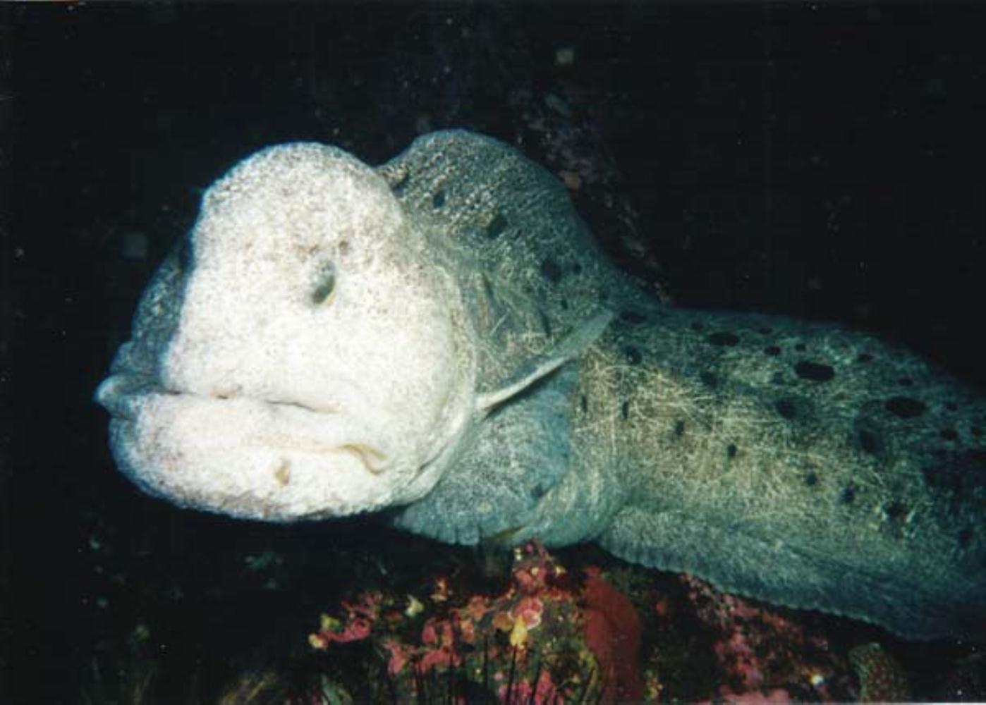 Wolf eel