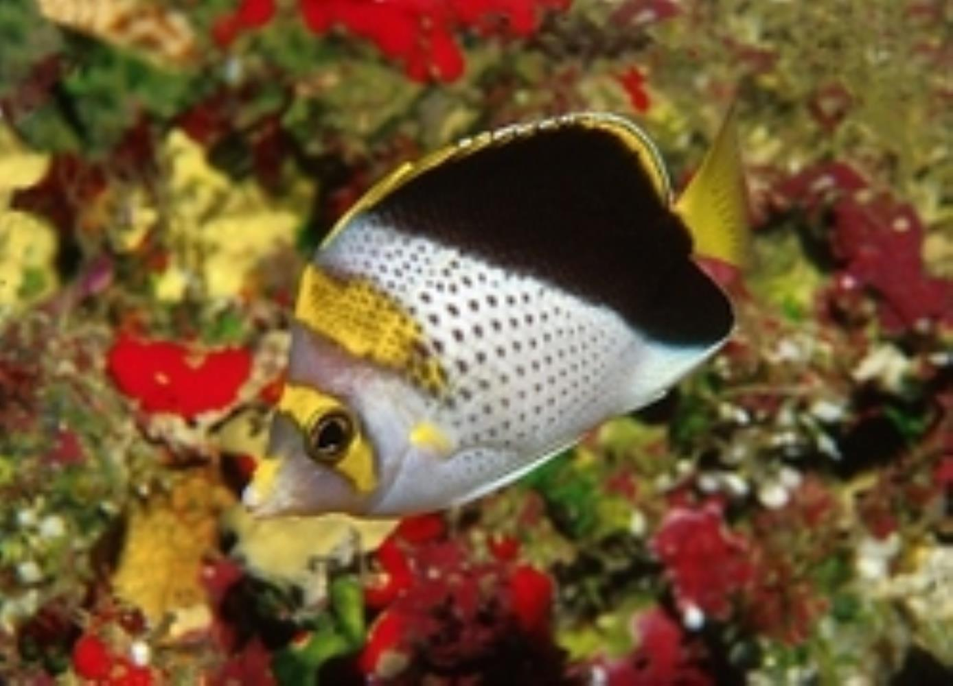 Yellow-crowned Butterflyfish
