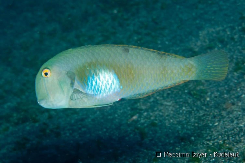Yellowblotch Razorfish