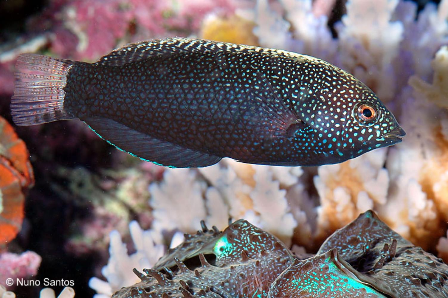 Yellowspotted Leopard Wrasse