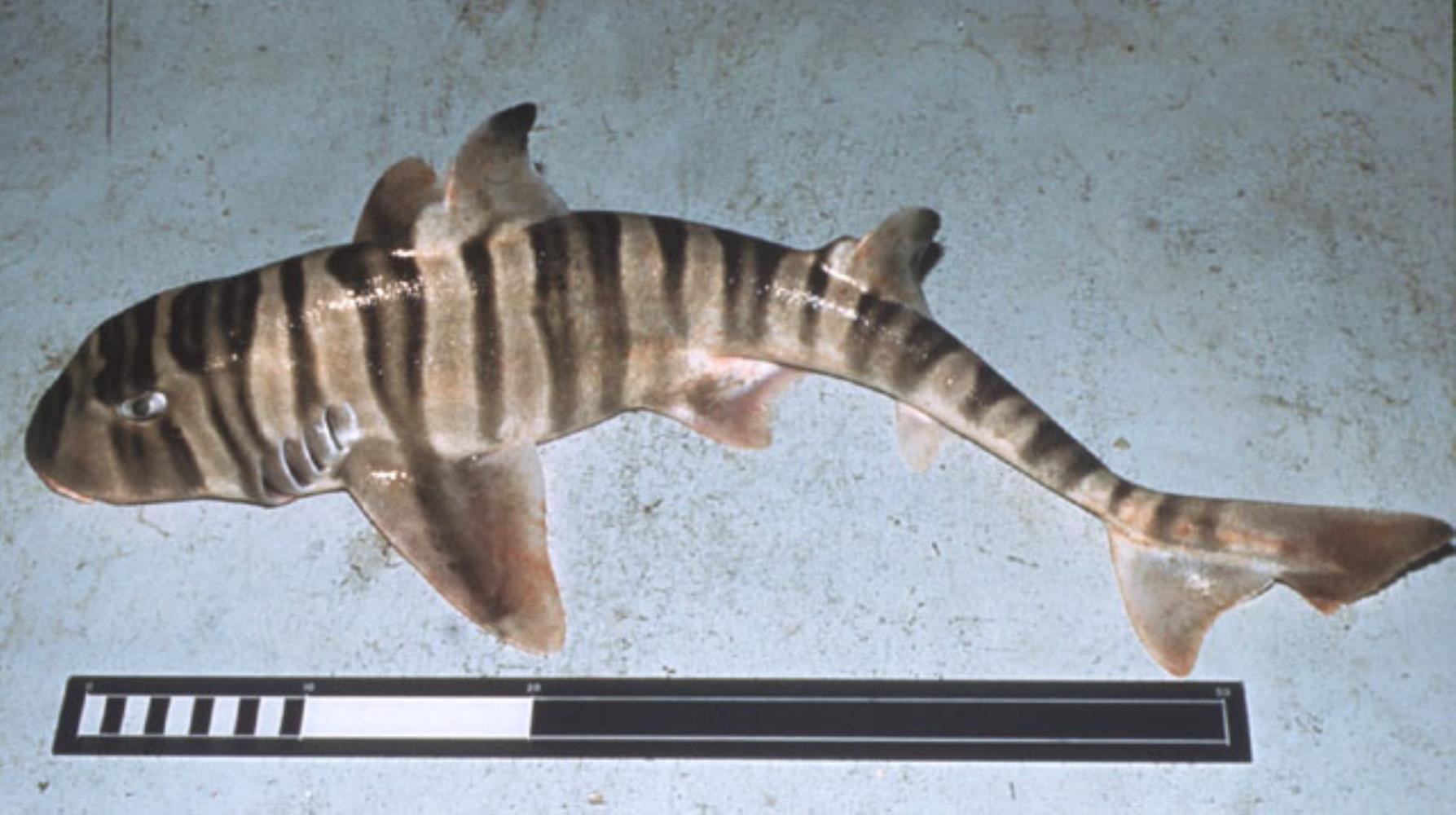 Zebra bullhead shark
