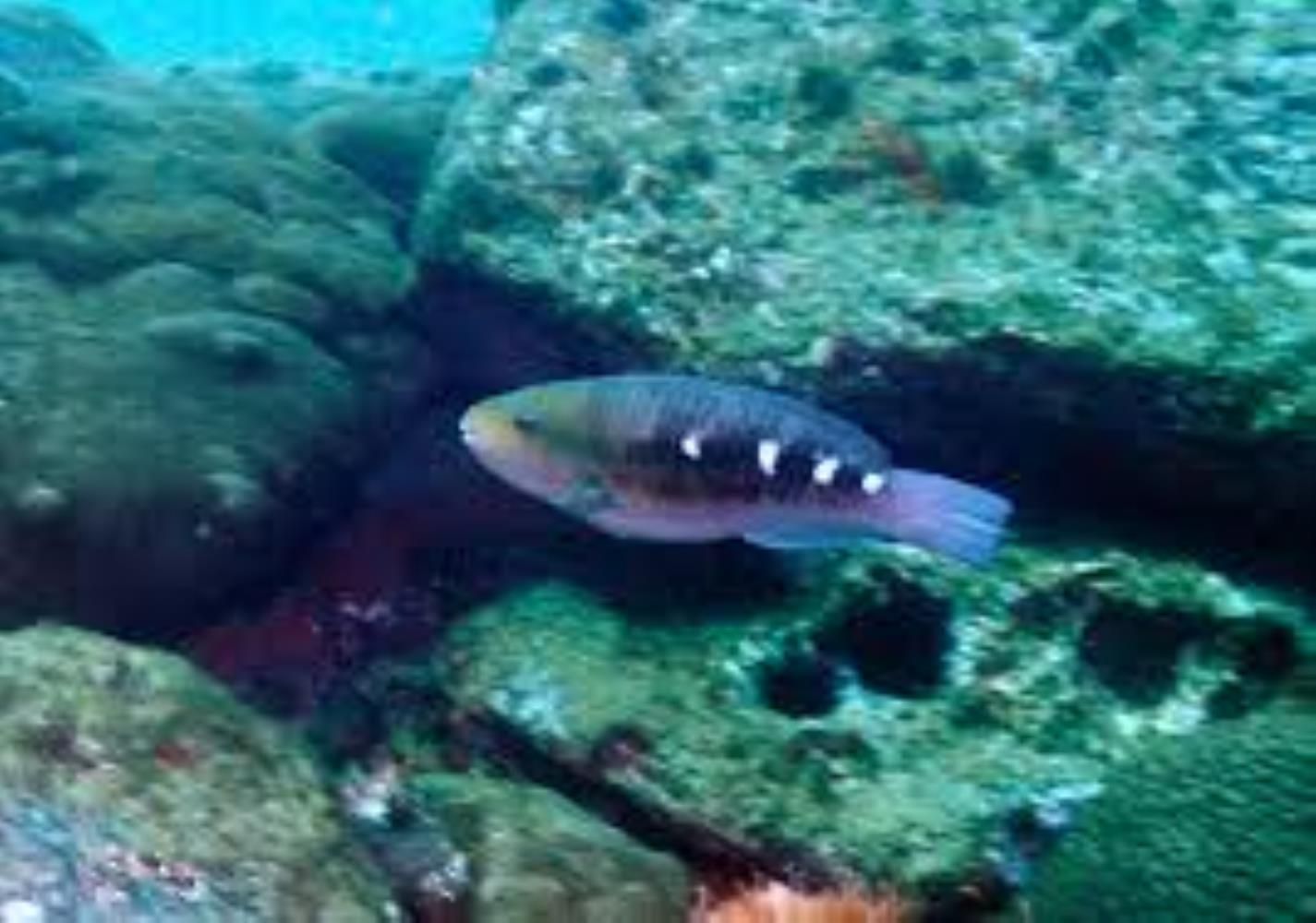 Zelinda's Parrotfish