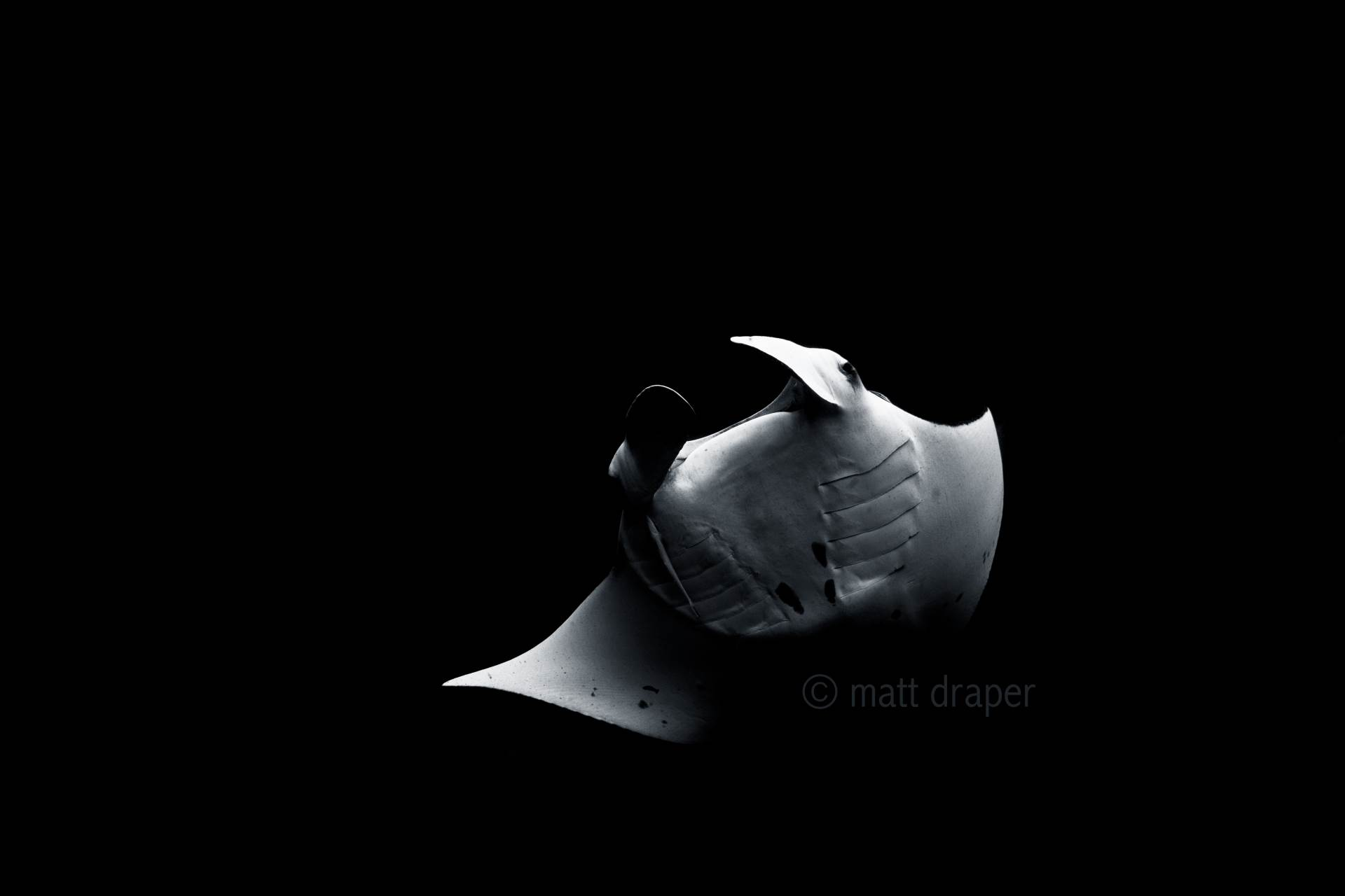An incredible interaction with this male Manta ray today at my local dive site of Julian Rocks, Byron Bay. I spent close to an hour free diving with this amazing being in about 10m of water. I captured this image under natural light then removed all colour. www.mattdraperphotography.com
