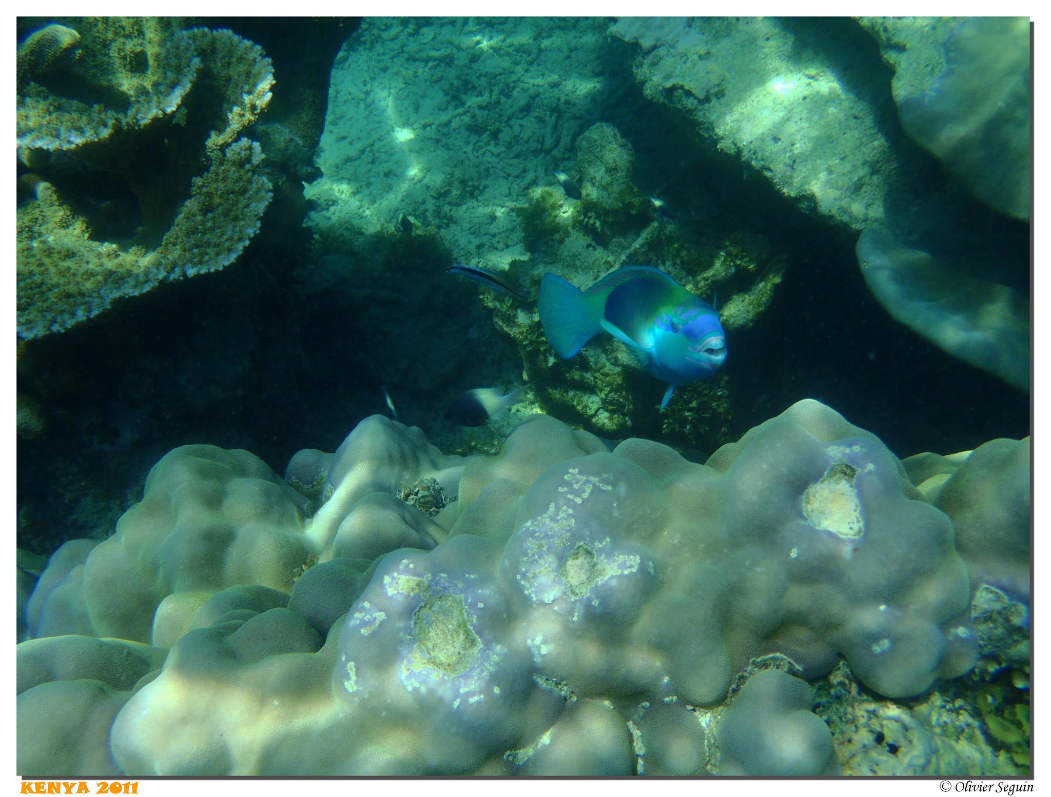 Kenya - Wasini - Snorkeling - Poisson Perroquet Photo by: Olivier Seguin Link: https://flic.kr/p/oDm5JA