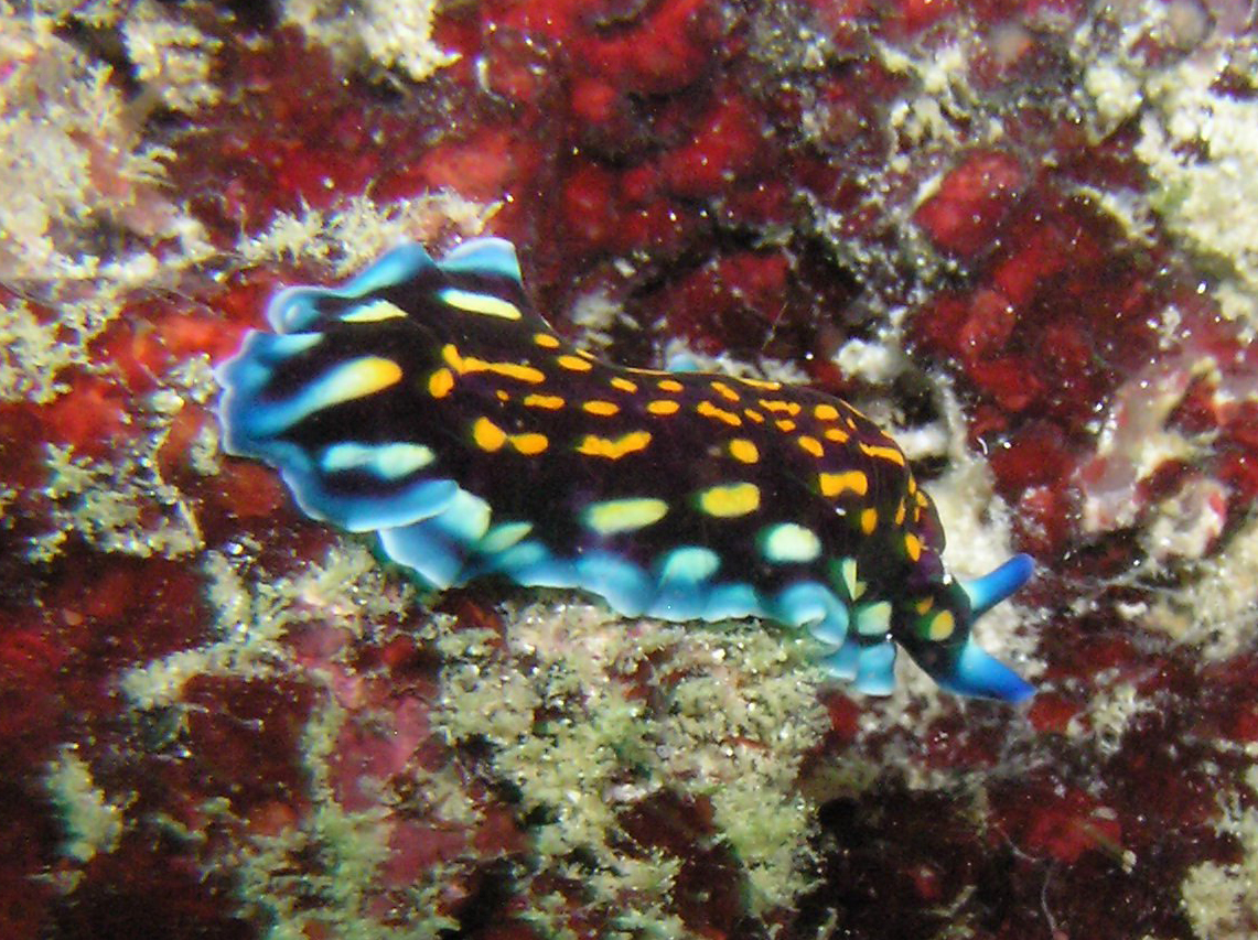Linda's Flatworm Photo by: prilfish Link: https://flic.kr/p/3WTjiG