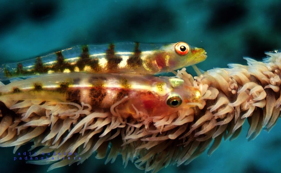 2 GOBY