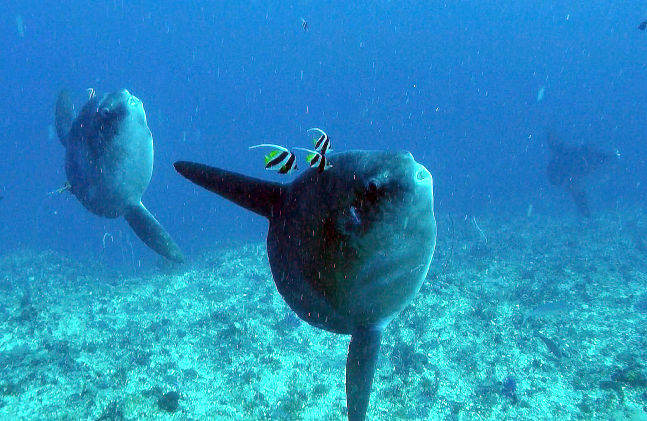 Mola Mola between June and October