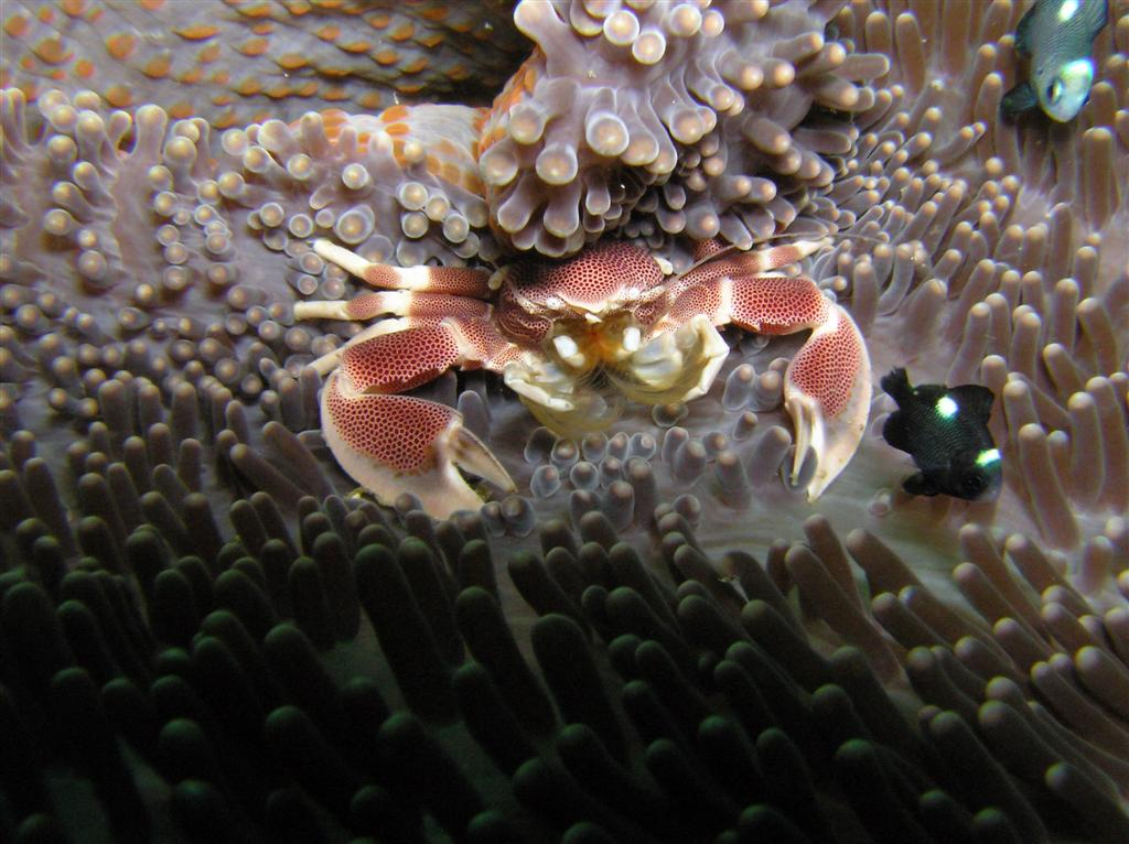 Anemone Crab Photo by: prilfish Link: https://flic.kr/p/xM9YF