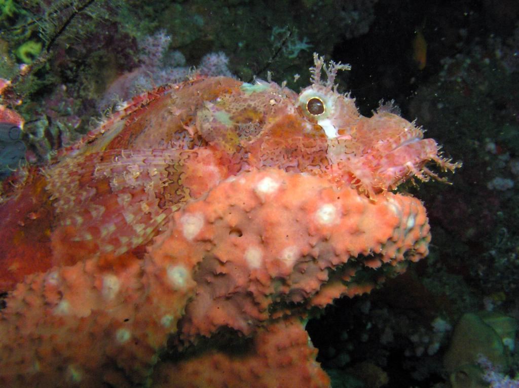 Scorpion Fish Photo By: prilfish Link: https://flic.kr/p/xM9YG