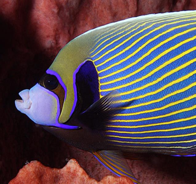 421fishinfo-anglefish