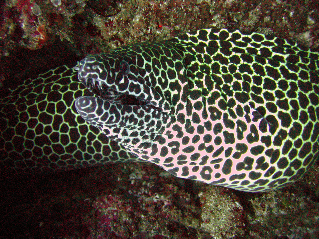 moneycomb moray Photo by: Andy Walker Link: https://flic.kr/p/8MYoiU