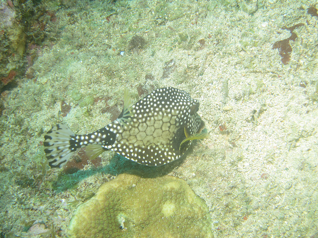 trunk fish Photograph By: Ken Okumura Link: https://flic.kr/p/8TrvZ8