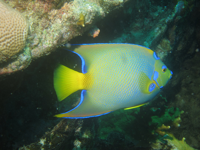 Angelfish Photograph By: Ken Okumura Link: https://flic.kr/p/8TrAgk