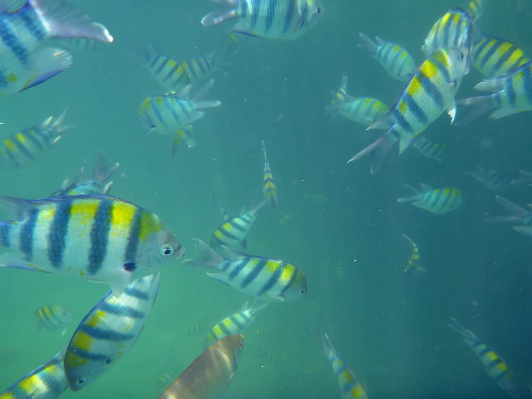 A school of sergeant major fish in Mombasa Marine reserve Photo by: Marc Link: https://flic.kr/p/dMW2Qw