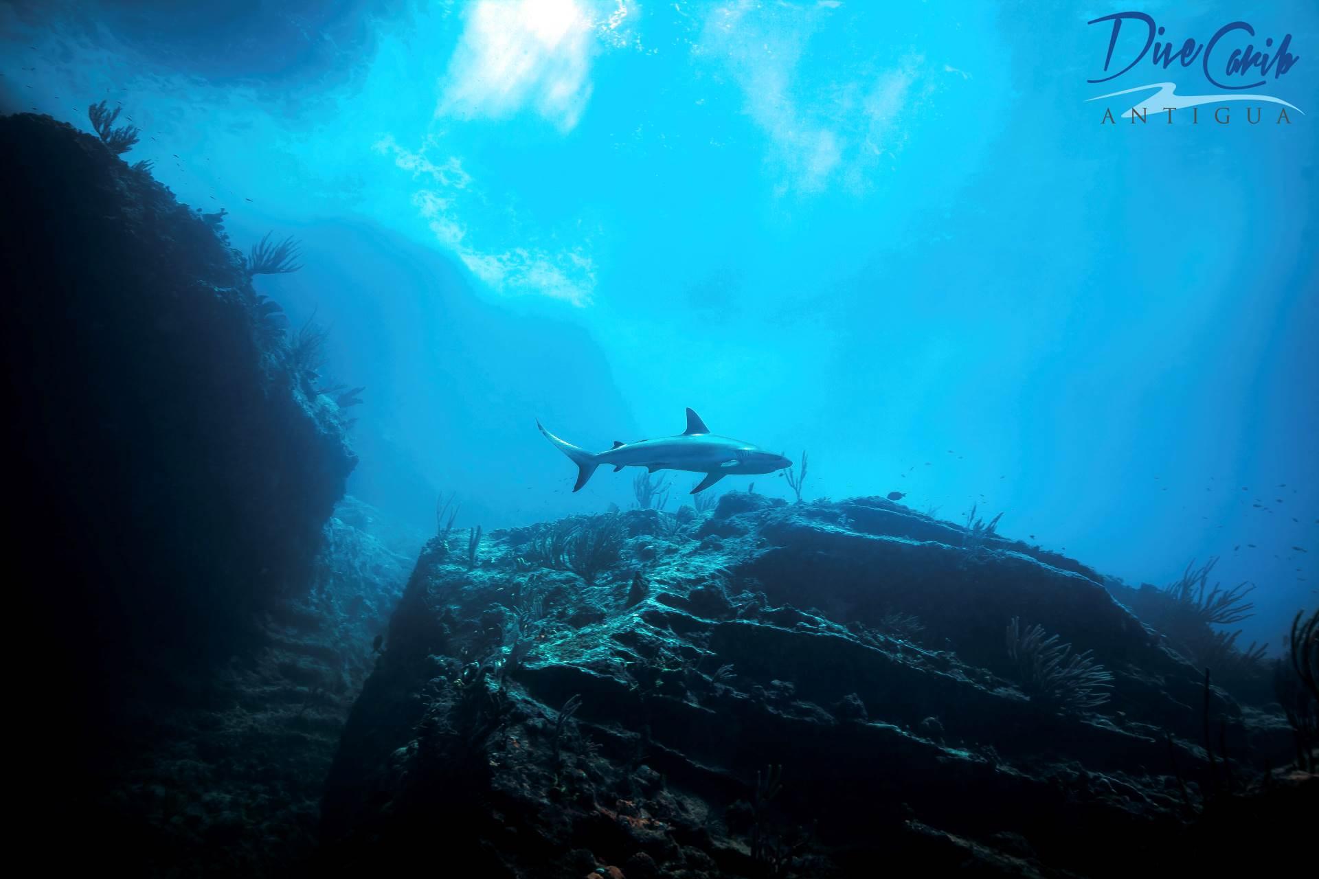 A Caribbean reef shark (Carcharhinus perezii) passing over us at our dive site 'Rolling Stones'. #scuba #padi #divecarib #divecaribbean #antigua #paditv #caribbean #scubadiving #diving #econodeco #antiguaandbarbuda #shark #sharkdiving