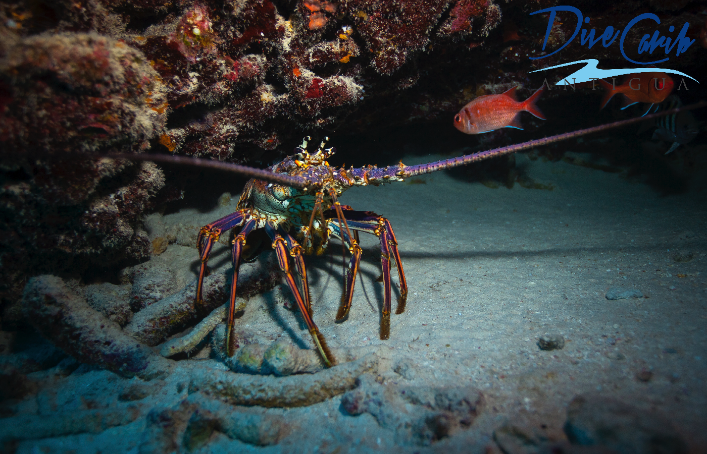 One of the many beautiful Caribbean spiny lobsters (Panulirus argus) that we see on our dives.  These spiny lobsters are particularly important to the fishing industry of Antigua and Barbuda, however there is a closed season from the 1st of May - 30th of June. It is also illegal to harm, take, have in possession, place for sale, or purchase them when they are undersized, carrying eggs, molting, or have a tar spot.  We hope this fisheries can be sustainable for years to come. #lobster #caribbeanspinylobster #spinylobster #antigua #antiguaandbarbuda #scuba #scubadiving #padi #divecarib #econodeco #fisheries #sustainable #seafood #caribbean