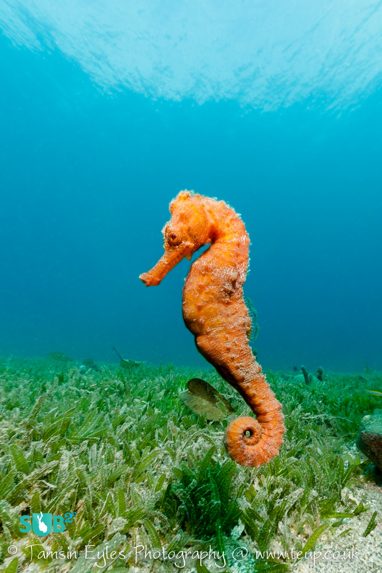 Many of the reefs around Bequia have resident seahorses. This gorgeous orange longsnout seahorse was investigating the seagrass by the reef. Photo courtesy of Tamsin Eyles.