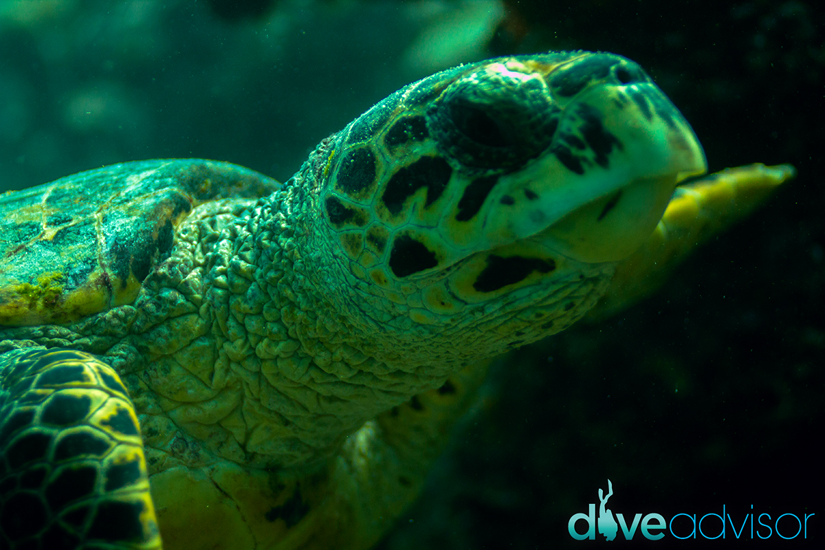 On one of the Dives with Dive Ocean, we had a local marine biologist who had told me that if I took a picture (clear portrait) of a turtle that wasn't in their directory, I could name it. Surely, I did, and I called it after a very lovely lady, Nelia.