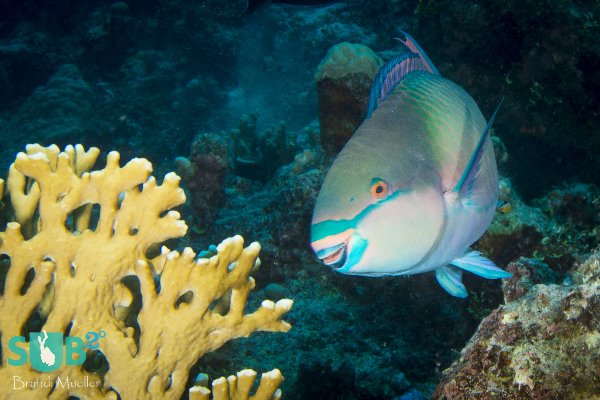 This parrotfish was about to take a bite of the coral, although parrotfish do not eat the coral for nutrition.  They feed on the algae that is growing on the coral.