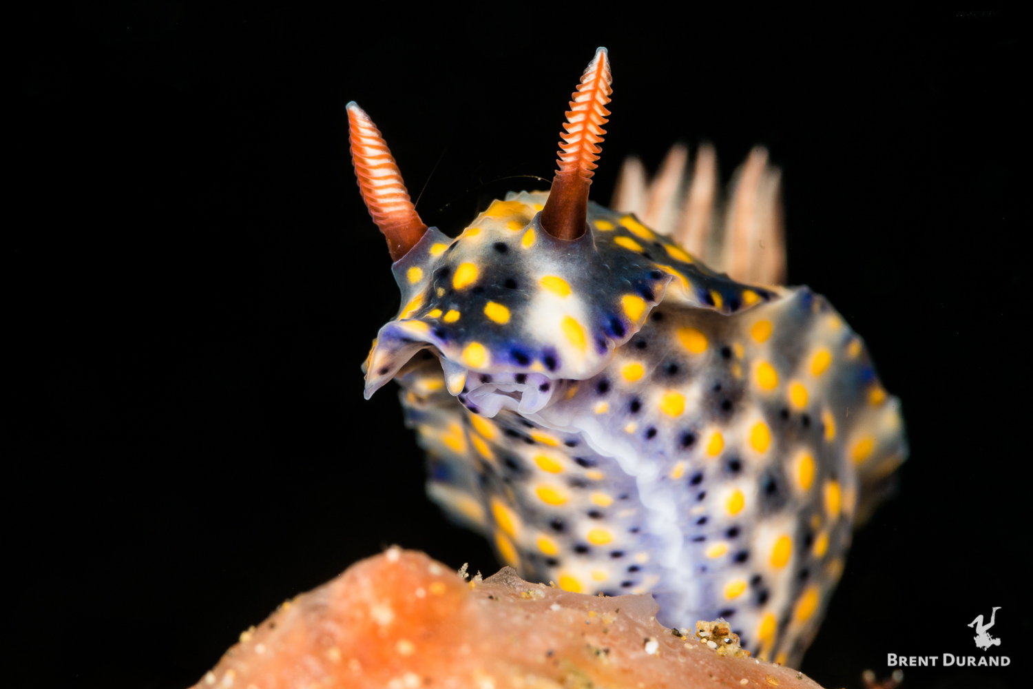A nudibranch moves across a sponge in Anilao, Philippines.