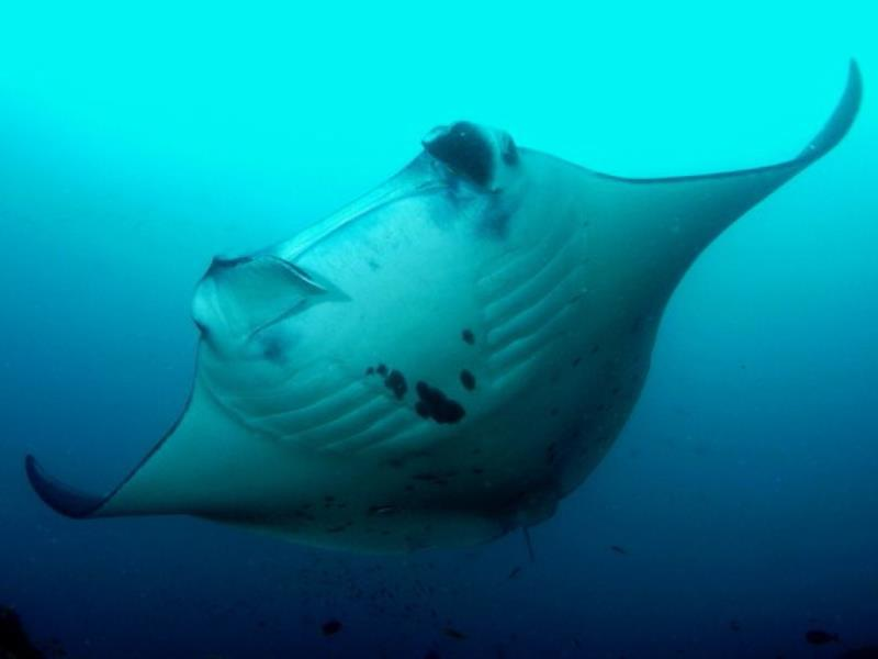 Activities - Diving Manta Reef