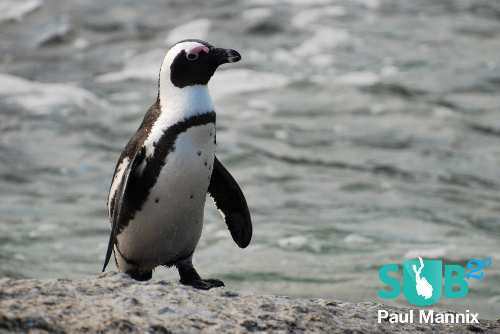 African penguin spotted at Boulders Beach, South Africa.