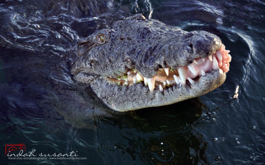 Franco, saltwater American Crocodile in Jardines de la Reina