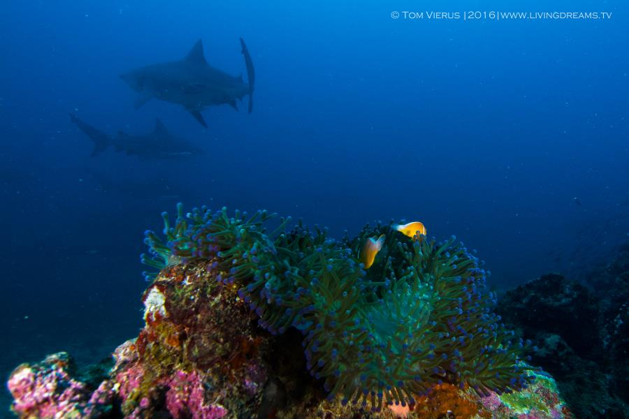 Anemone fish and bull sharks