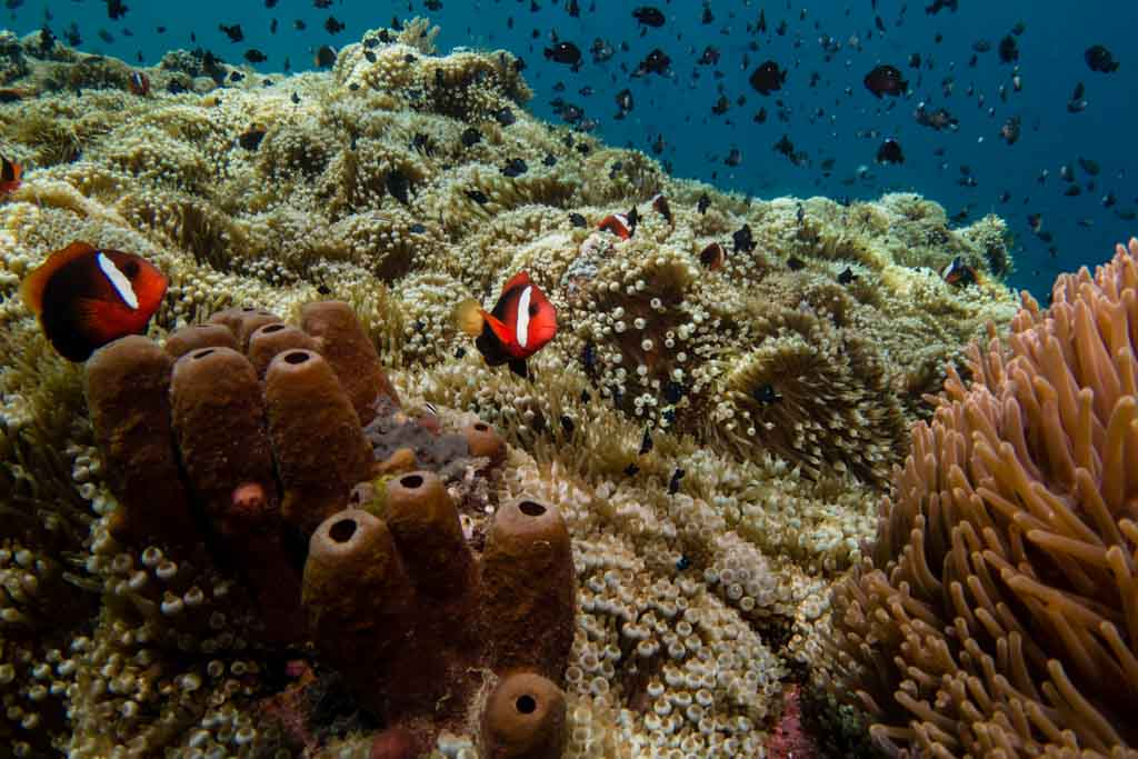 Clown fish in a huge anemone garden
