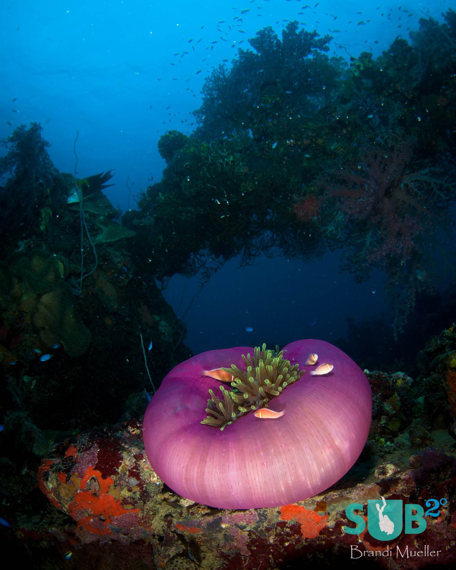 An anemone living on the deck of the Shinkoku Maru, a sunken ship that was part of the Imperial Japanese Navy during WWII.
