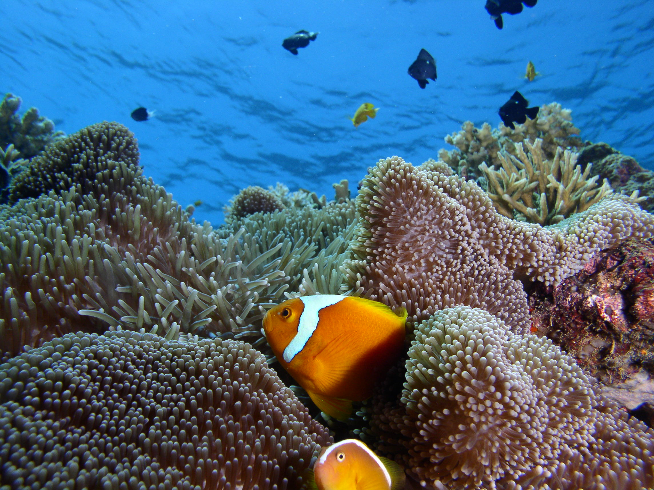 There are nine varieties of anemonefish on this reef - here are two of them.  Do you know what they are?