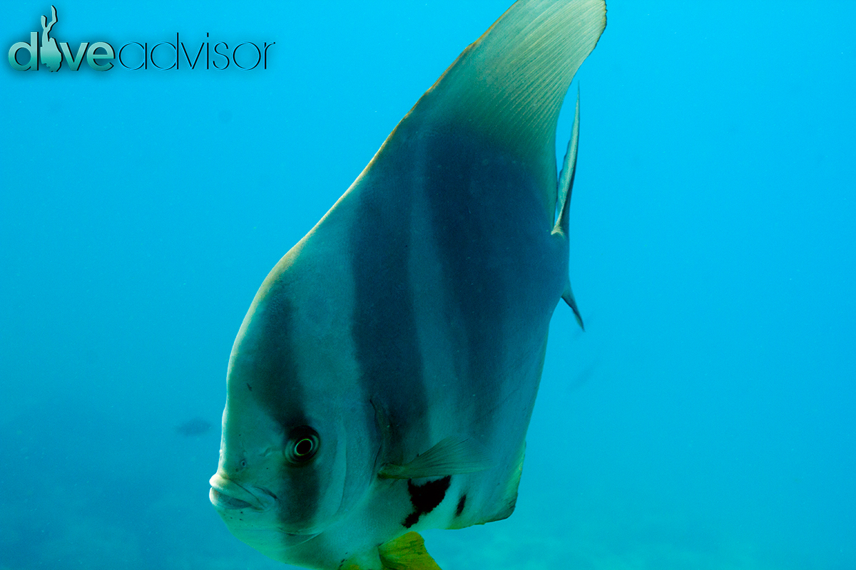 Again, I can't ignore my tempation to shoot the uber friendly batfish.
