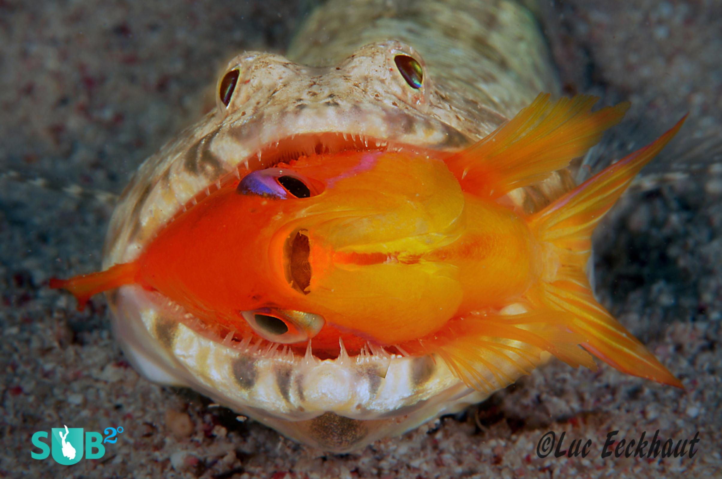 Anthias in Lizardfish