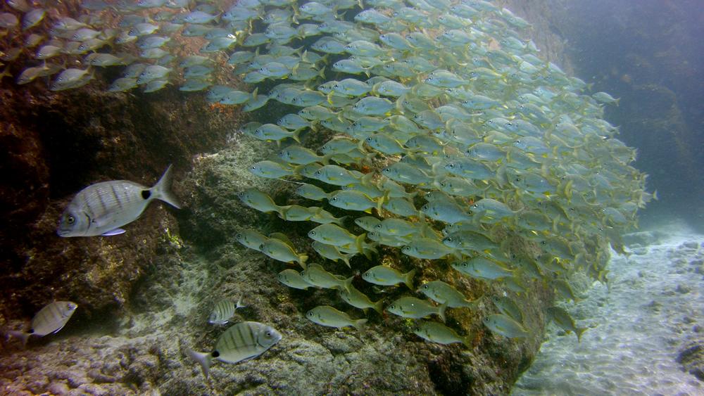 shoal of Roncadores Tenerife