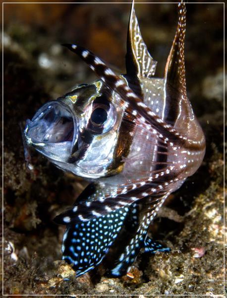 Banggai Cardinal Fish < Pterapogon kauderni >
