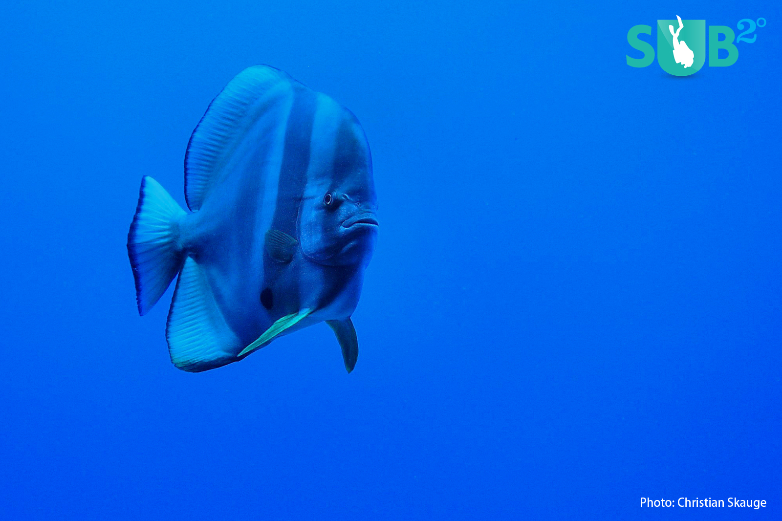 Without strobes, this batfish takes on an unmistakable blue hue.