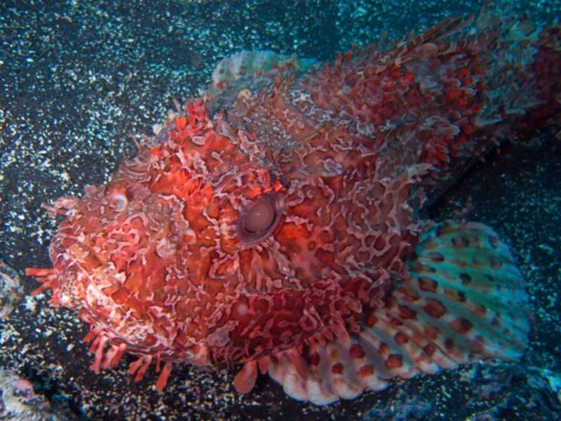 Big Scorpionfish