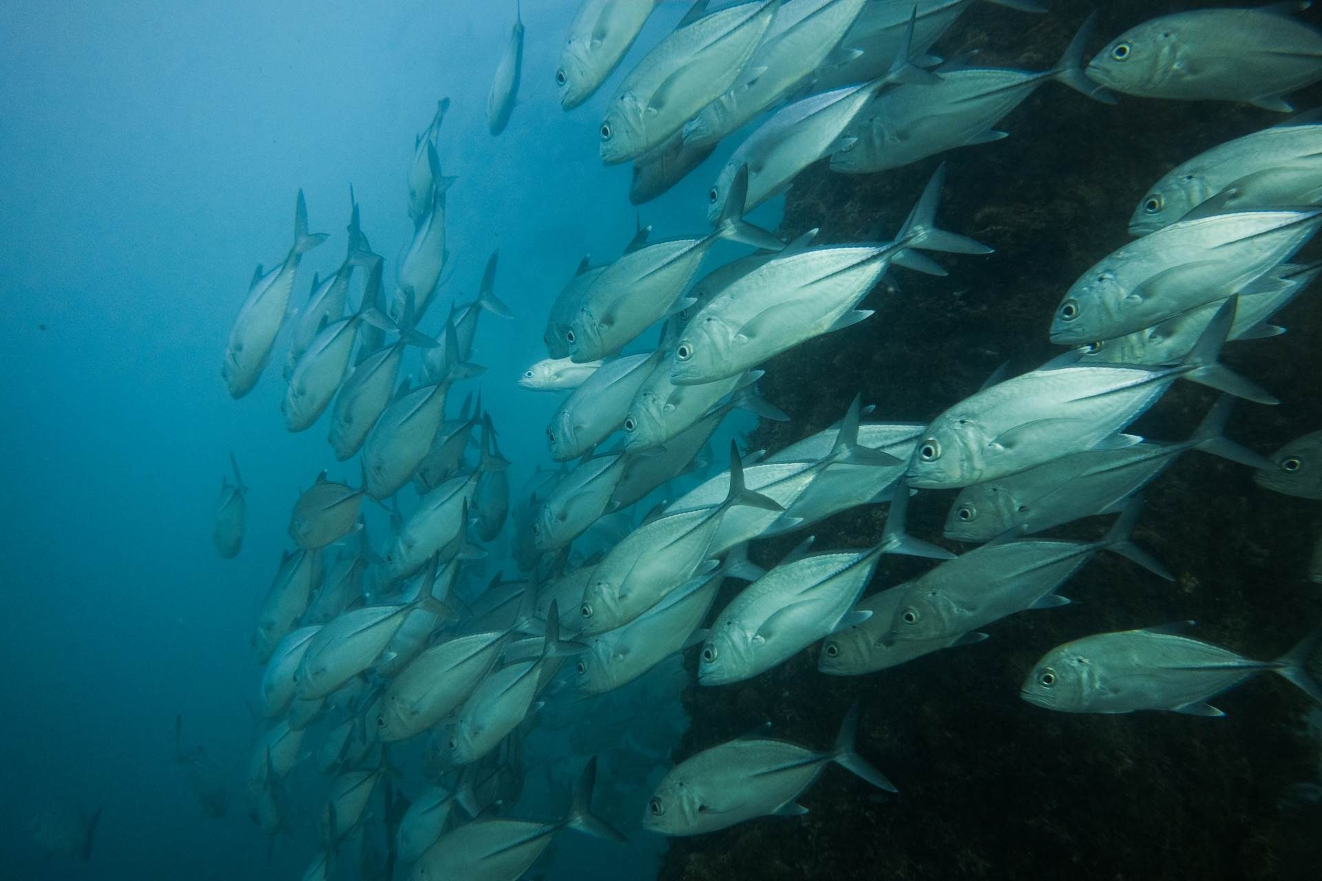 Bigeye trevally swarm around Navy Pier's pilings in Exmouth, Western Australia. These fish are a common sight in the tropical Indo-Pacific region, and they congregate in huge schools, numbering in the thousands. At Navy Pier, due to the lack of fishing, they are particularly numerous. In fact, because of the lack of fishing pressures, most fish species at Navy Pier are more numerous than they are elsewhere.