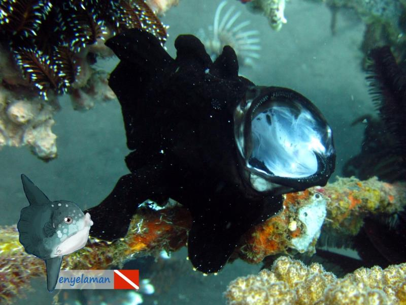 Black Frogfish