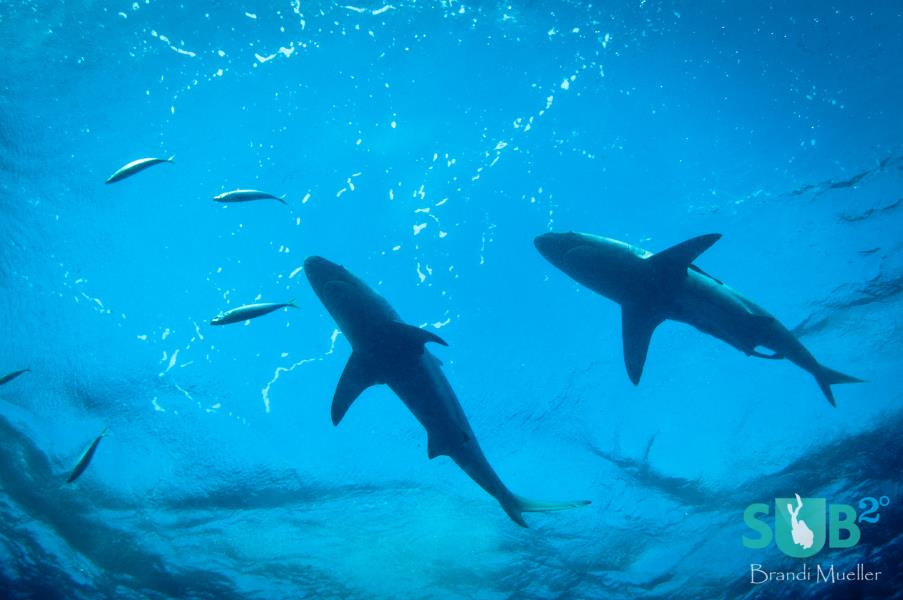 Black Tip Reef Sharks
