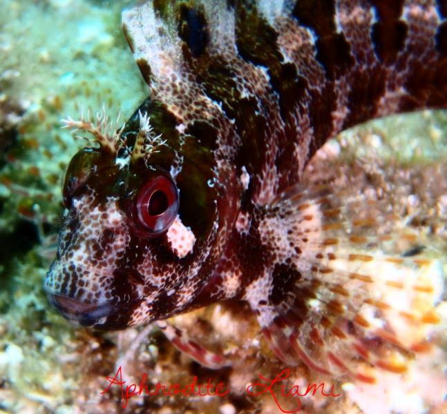 blenny fish